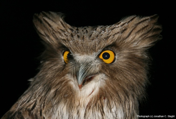2 Yr Old Blakistons Fish Owl Female_JSlaght