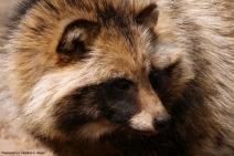 RaccoonDog.(c)J