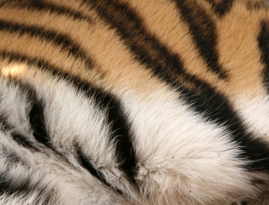 tigers-3-coat-slaght