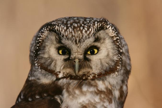 Boreal Owl (c) J. Slaght