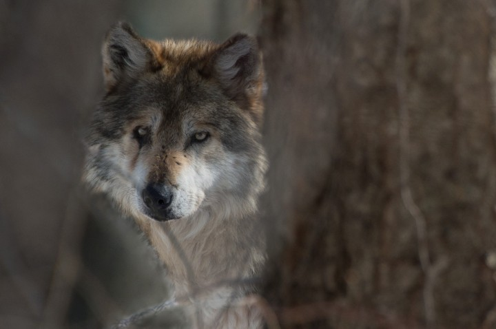 Julie Larsen Maher_0461_Mexican Wolf_02 15 13