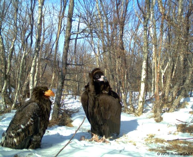 VultureEagle_WCSRussia